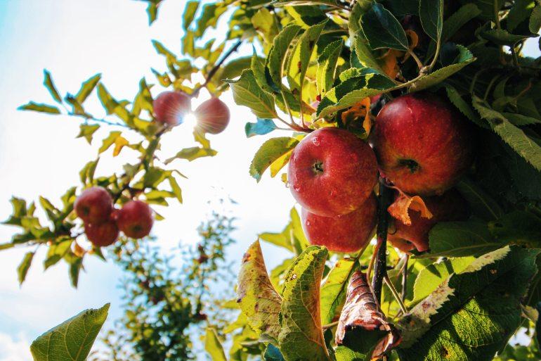 apple-apple-tree-apples-574919