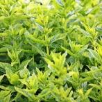 mint-green-mint-plant-herbal-plant-159212.jpeg