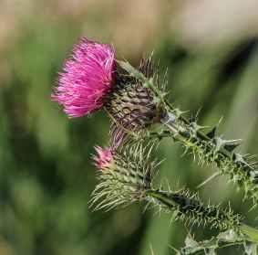plant flower pink wildflower
